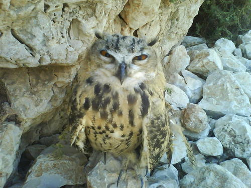 eagle owl on the wild nature of israel